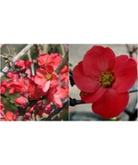 Live Plant - Spitfire Flowering Quince - Established Roots - 3 Pack Smal... - $71.99