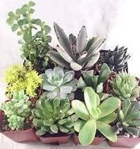 Succulents Unique Succulent 2'' pot (Collection of 10) unique from Jmbamboo - $31.35