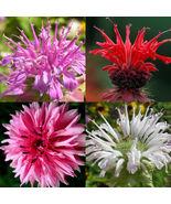 40 Bergamot Seeds Monarda MIX Rare Medicinal Perennial Herb Bee Balm Native - €4,18 EUR