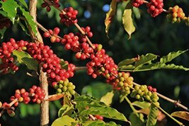 10 Seeds of Coffee Ethiopian / Coffea arabica var. typica - $26.73
