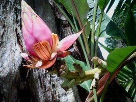 Musa hirta Bornean Hairy Banana Pack of Seeds