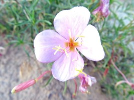 SHIPPED FROM US 300+Pale Evening Primrose Drought Tolerant Flower Seeds,... - $17.00