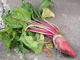 1500 seeds - Beet Red Mangle Giant Heirloom Mammoth - Mangel Beets - $14.85