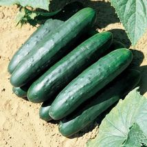 SHIP From US, 10 Seeds Raider F1 Cucumber Seeds, DIY Healthy Vegetable AM - $18.99