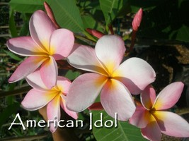Free Bonus + American Idol Rare Exotic fragrant Plumeria Frangipani cutting - $11.95