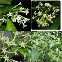 Night Blooming Jasmine Starter Plants Fragrant Flowering Cestrum Nocturnum - $24.78