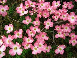 "1 Pink Dogwood Tree Plant 10-16"" tall 3"" pot - $39.99"