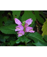 Organic Native Plant, Turtlehead, Chelone lyonii - $3.50