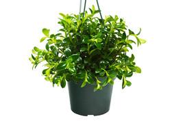 """1 Live Plant - Nematanthus 'Candy Corn' 6"""" Pot #HPS13 - $57.99"""