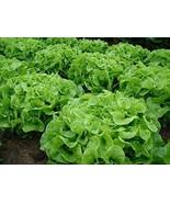 Green Oakleaf Lettuce Seeds 6,000 Seeds Garden Seeds Plant Seeds tkomguy - £22.68 GBP
