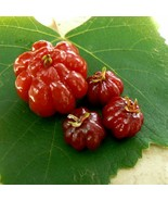 Eugenia Uniflora Seeds - special and exotic tree - 20 seeds - $14.35