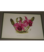 Lindenia Print Limited Edition Laelia Praestans Rchb Luciani Orchid Art ... - $15.19
