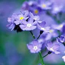 Forget Me Not 100+ Seeds Newly Harvested, Beautiful Abundant Blooms - $8.55