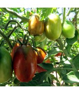 Black Dragon tomato - a rich plum tomato with multiple uses - $4.50