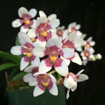 Blooming size Native Australian species-Sarchocilus-cold tolerant hardy  - $49.98
