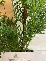 Murray Cypress image 4