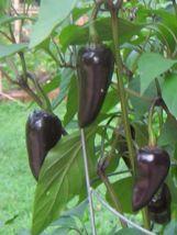 SHIP From US, 10 Seeds Czechoslovakian Black Pepper, DIY Healthy Vegetab... - $18.99