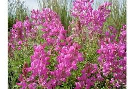 50+UTAH (Northern) SWEETVETCH Seeds American Native Wildflower Drought T... - $2.75