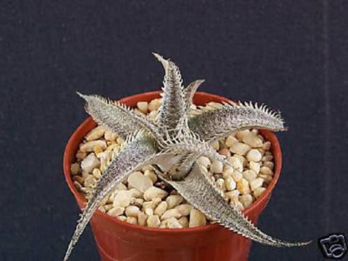 "Primary image for SHIP From US, 4"" pot Dyckia marnier lapostollei, succulent plant cacti ECC"