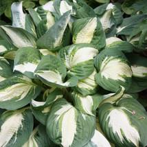 "1 Live Potted Plant hosta VULCAN medium white thick easy 2.5"" pot  - $31.99"