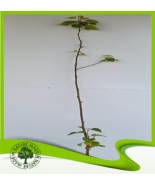 Betula alba (European white birch) - Plant - $14.84