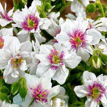 50 White Bright Pink Geranium Seeds Hanging Basket Perennial Flowers - TTS - $29.95