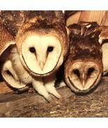 Vintage Common Barn Owls  Print. Poster, Wall Art Home Decor - $26.59