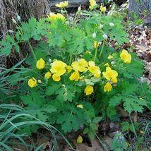 20 CELANDINE yellow POPPY bulb (Stylophorum eiphyllym image 3