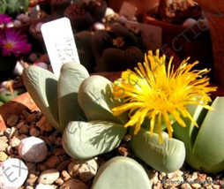 Rare Argyroderma Crateriforme @@ Mesembs Exotic Succulent Cactus Stones 20 Seeds - $18.00