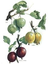 Vintage Fruit Prints: Angler - Fruit Growers Guide - 1880 - $12.95+