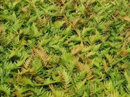 Autumn Fern 25 Plants in 3-1/2 inch Pots FREE SHIPPING - $147.25