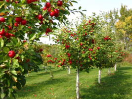 LIVE PLANT Orchard Apple Tree seedling Fruit tree low cost apples deer w... - $48.99