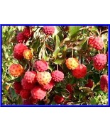 Japanese Dogwood Tree Seeds- Grows Edible Berries - See our store- COMB ... - $16.48