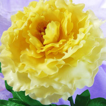 10PC yellow Peony seeds. The most beautiful and fragrant flower - $4.50