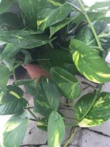 Golden Queen Pothos 2 ft rooted Cutting Easy Vining House Plant Air Puri... - $26.99