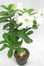 Adenium Seeds Obesum Elephant white Desert Rose 3 Seeds - $8.99