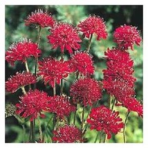 25+ RED SCABIOSA PINCUSHION FLOWER SEEDS / PERENNIAL - £4.03 GBP