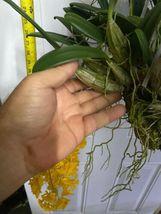 "Whopper Dendrobium aggregatum Bloom size 6"" wood slat basket LARGE SPECIES image 5"