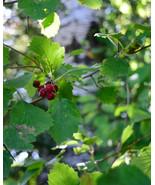 Mayhaw Fruit Tree Crataegus aestivalis Live plant 3 feet tall or taller - $39.99