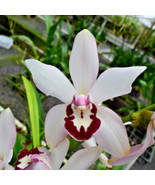 Cym. Vanessa Amorosi Pink Paradise' Orchid Plant Blooming Size Warm Grow... - $17.99