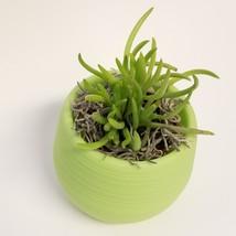 "Senecio Succulent in Green Self-Watering Pot, Live Plant Barberton 3"" Planter image 4"