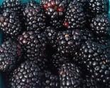 Austin Dewberry 1 Gal Live Plant Delicious Nutritious Health Plants Dewberries - $151.99