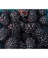 Austin Dewberry 1 Gal Live Plant Delicious Nutritious Health Plants Dewb... - $151.99