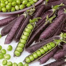 10 Seeds Purple pea seeds Pisium satirum Delicious Vegetable Seeds C158 - $13.58