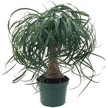 "6"" Pot Guatemalan Red Ponytail Palm Tree Beaucarnea Easy to Grow Live Pl... - $90.00"