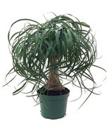 """6"""" Pot Guatemalan Red Ponytail Palm Tree Beaucarnea Easy to Grow Live Pl... - $90.00"""