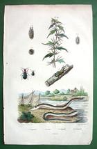 STAG BEETLE Lamprey Fish - SUPERB H/C Color Antique Print - $12.24