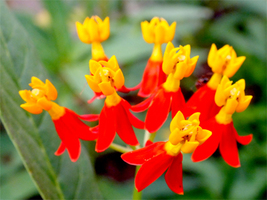 SHIP FROM US 22,000 Bloodflower Milkweed Butterfly Weed Seeds, ZG09 - $116.96