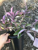 Vitex trifolia f. purpurea Fascination|Arabian Lilac 1g Garden Live Root... - $65.00
