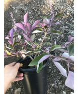 Vitex trifolia f. purpurea Fascination Arabian Lilac 1g Garden Live Root... - $65.00